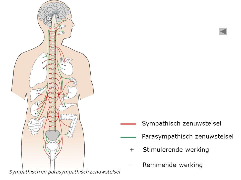 Sympathisch zenuwstelsel Zenuwimpulsen uit hersenstam Ventrale hoorn Dorsale hoorn Grensstreng Sympathische zenuwbaan Ruggenmerg- zenuw Darm Ruggenmerg