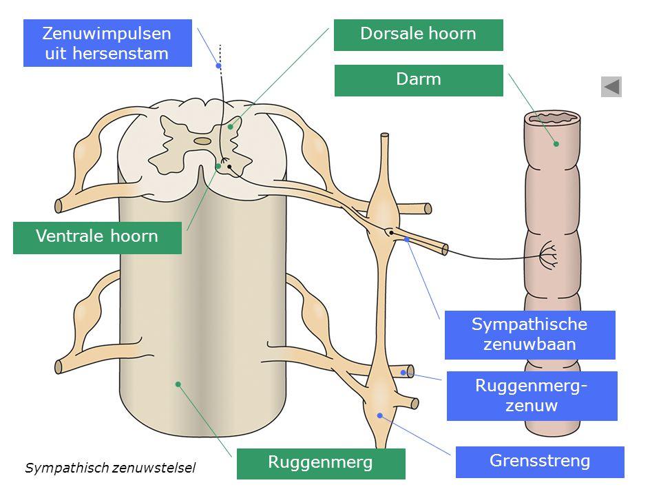 Sympathisch zenuwstelsel Zenuwimpulsen uit hersenstam Ventrale hoorn Dorsale hoorn Grensstreng Sympathische zenuwbaan Ruggenmerg- zenuw Darm Ruggenmer