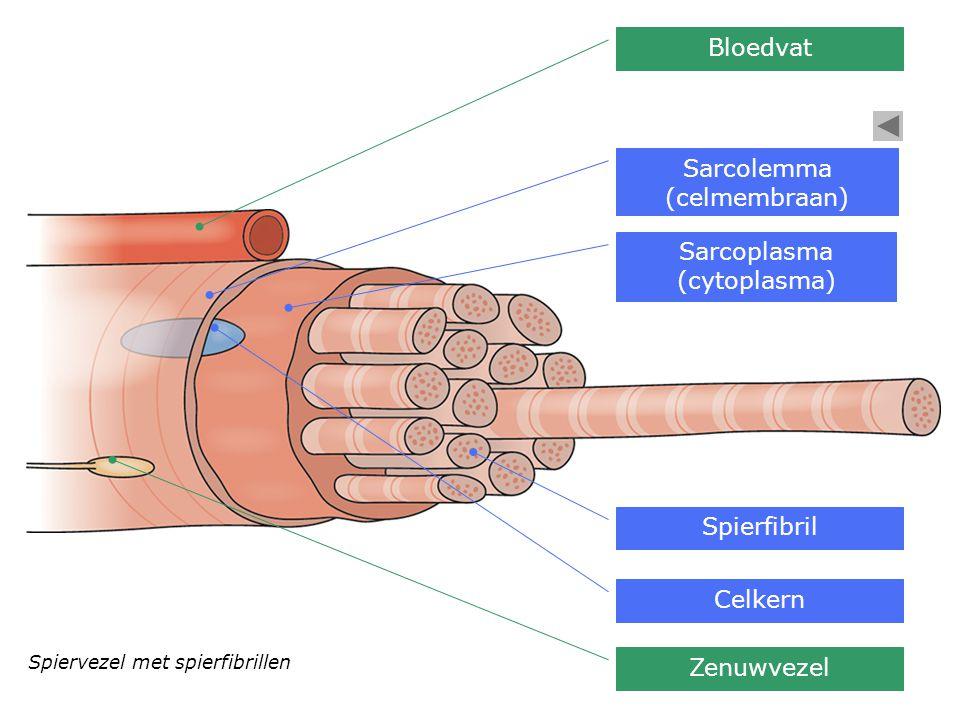 Spiervezel met spierfibrillen Bloedvat Sarcolemma (celmembraan) Sarcoplasma (cytoplasma) Spierfibril Celkern Zenuwvezel