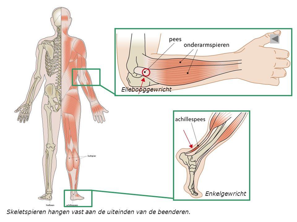 Skeletspieren hangen vast aan de uiteinden van de beenderen. Ellebooggewricht Enkelgewricht