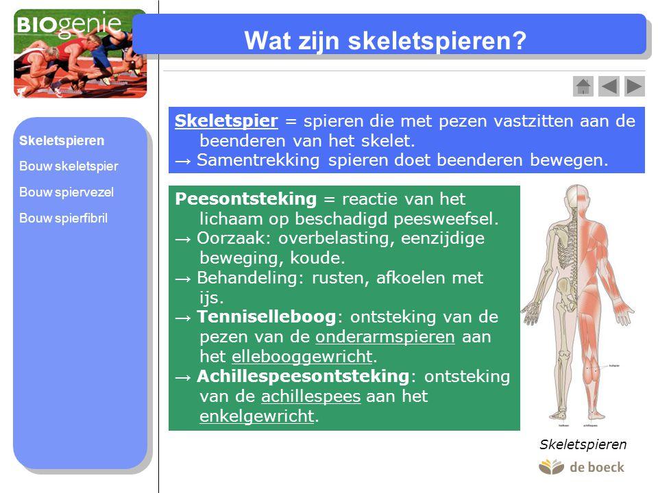 Wat zijn skeletspieren? Skeletspier = spieren die met pezen vastzitten aan de beenderen van het skelet. → Samentrekking spieren doet beenderen bewegen