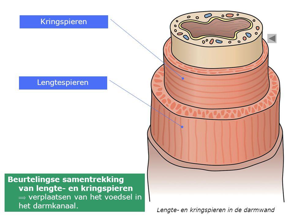 Lengte- en kringspieren in de darmwand Kringspieren Lengtespieren Beurtelingse samentrekking van lengte- en kringspieren  verplaatsen van het voedsel