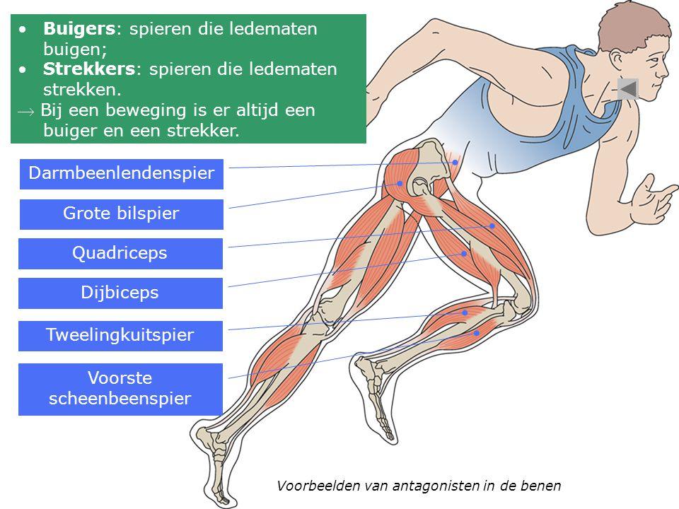 Buigers: spieren die ledematen buigen; Strekkers: spieren die ledematen strekken.  Bij een beweging is er altijd een buiger en een strekker. Voorbeel