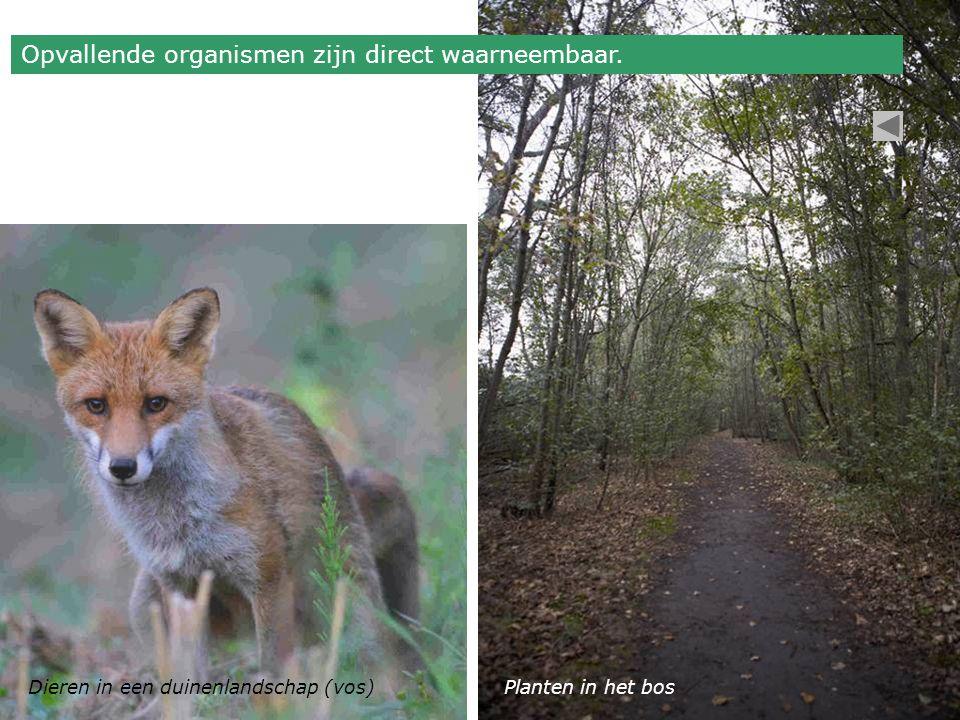 Dieren in een duinenlandschap (vos)Planten in het bos Opvallende organismen zijn direct waarneembaar.