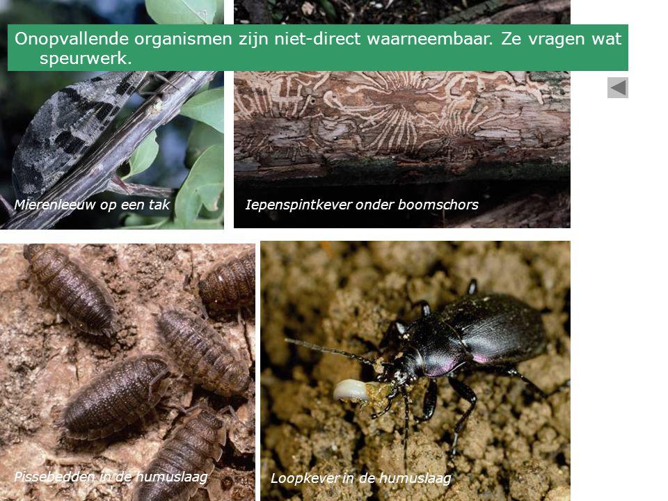 Mierenleeuw op een takIepenspintkever onder boomschors Pissebedden in de humuslaag Loopkever in de humuslaag Onopvallende organismen zijn niet-direct