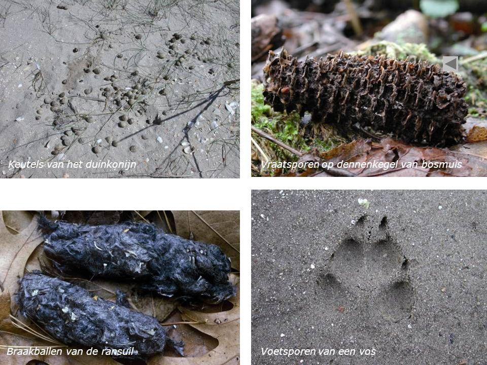 Keutels van het duinkonijnVraatsporen op dennenkegel van bosmuis Braakballen van de ransuilVoetsporen van een vos