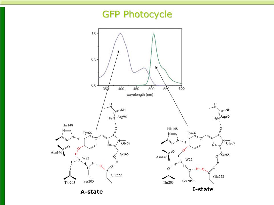 GFP Photocycle A-state I-state Arg96