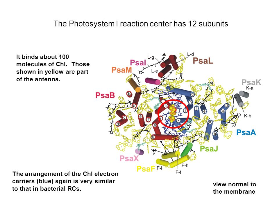 The Photosystem I reaction center has 12 subunits It binds about 100 molecules of Chl. Those shown in yellow are part of the antenna. The arrangement