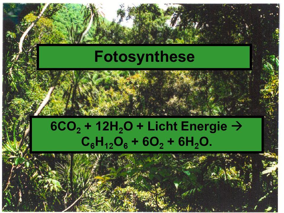Fotosynthese 6CO 2 + 12H 2 O + Licht Energie  C 6 H 12 O 6 + 6O 2 + 6H 2 O.