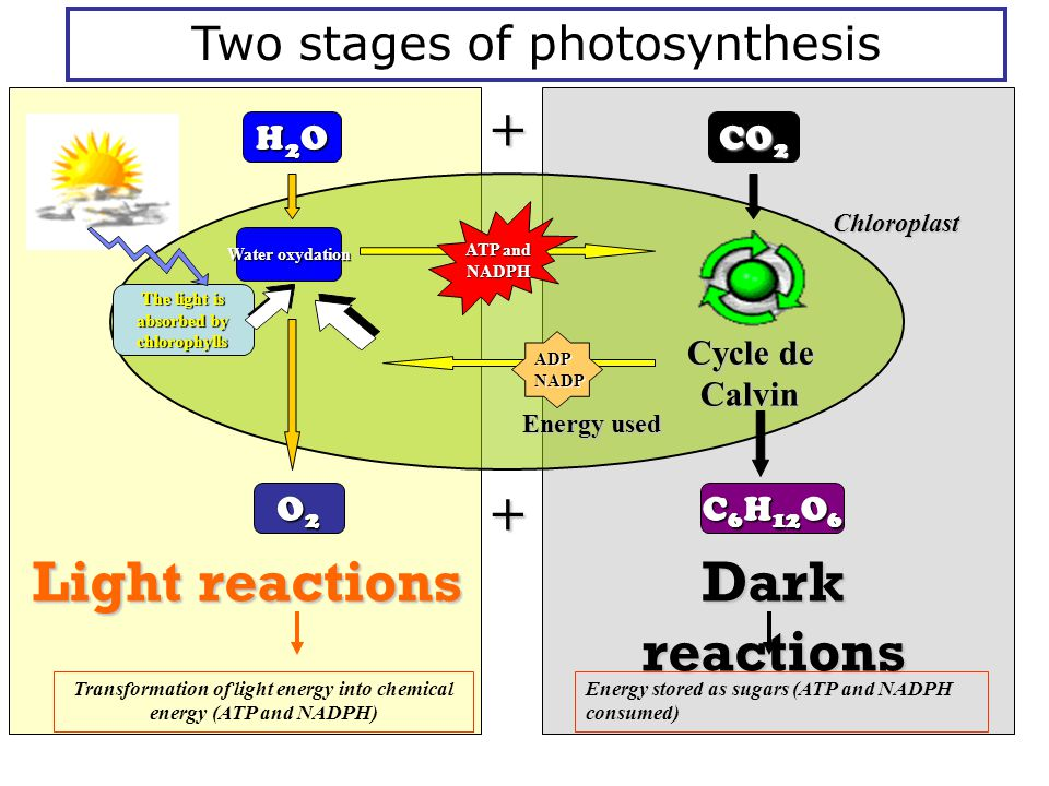 H2OH2OH2OH2O O2O2O2O2 Light reactions Light reactions The light is absorbed by chlorophylls Water oxydation Chloroplast ATP and NADPH Two stages of ph