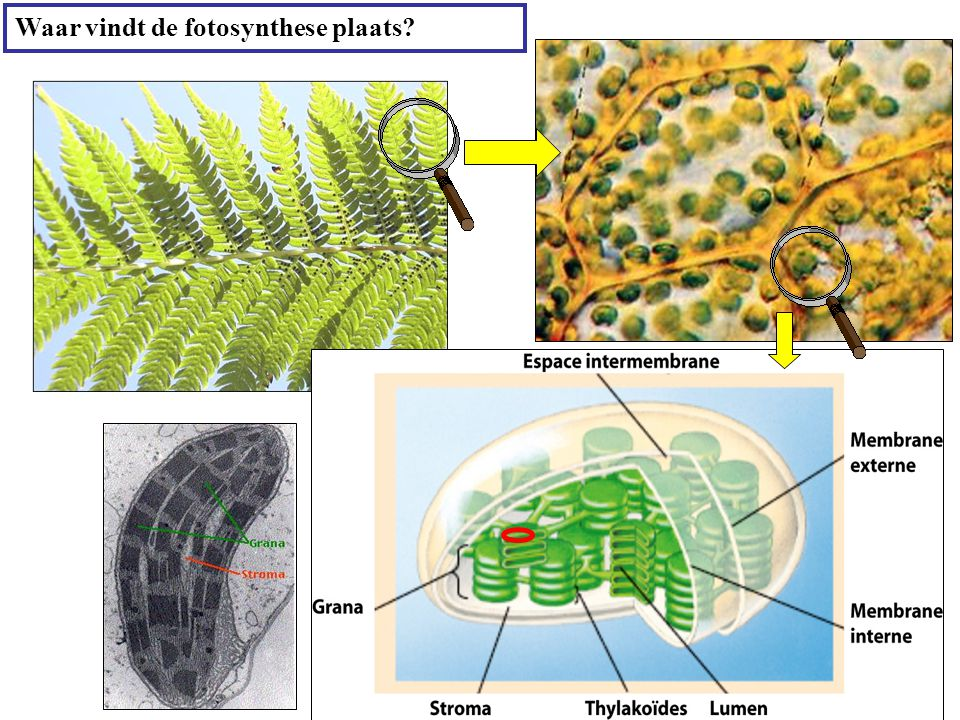 Waar vindt de fotosynthese plaats