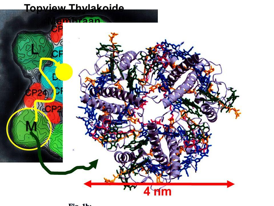 Topview Thylakoide Membraan 4 nm