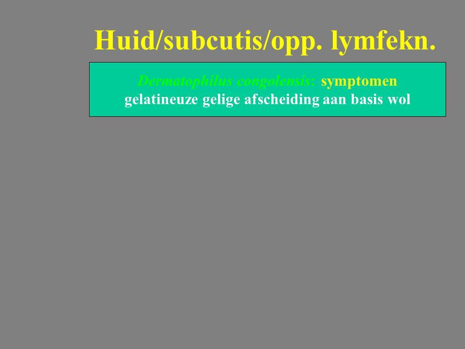 Dermatophilus congolensis: symptomen gelatineuze gelige afscheiding aan basis wol