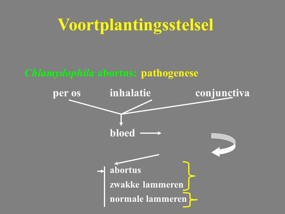 Chlamydophila abortus: pathogenese per osinhalatieconjunctiva bloed abortus zwakke lammeren normale lammeren Voortplantingsstelsel