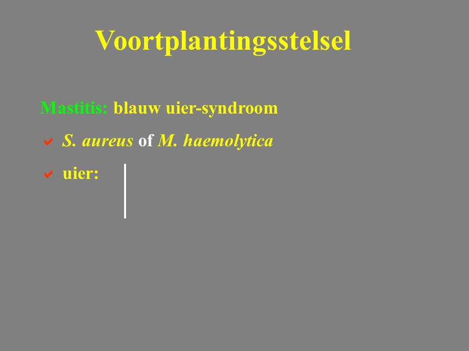 Voortplantingsstelsel Mastitis: blauw uier-syndroom  S. aureus of M. haemolytica  uier: