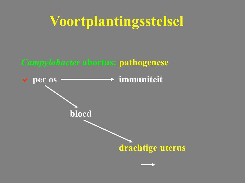 Brucellose: Brucella ovis  niet pathogeen voor mens  wettelijk bestreden  mannelijke dieren Voortplantingsstelsel