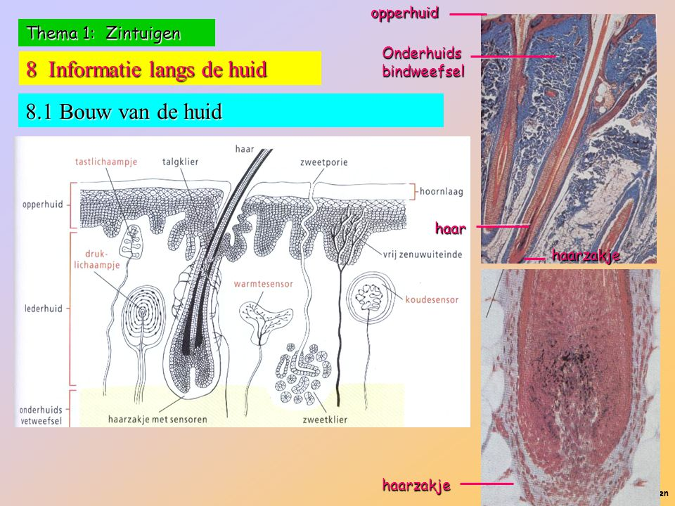 P. Feys - Sint – Jorisschool Menen Thema 1: Zintuigen 8 Informatie langs de huid 8.1 Bouw van de huid haar haarzakjeopperhuid Onderhuids bindweefsel h