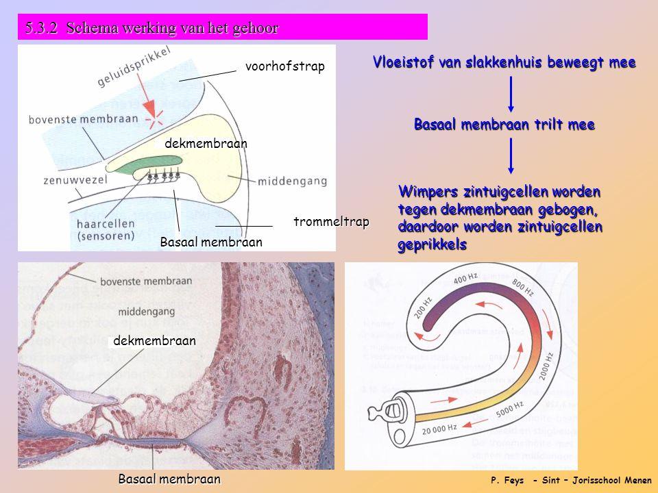 P. Feys - Sint – Jorisschool Menen Vloeistof van slakkenhuis beweegt mee Basaal membraan trilt mee Wimpers zintuigcellen worden tegen dekmembraan gebo