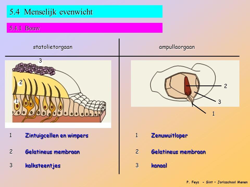 P. Feys - Sint – Jorisschool Menen 5.4 Menselijk evenwicht 5.4.1 Bouw statolietorgaanampullaorgaan 1 2 3 1 2 3 Zintuigcellen en wimpers Gelatineus mem