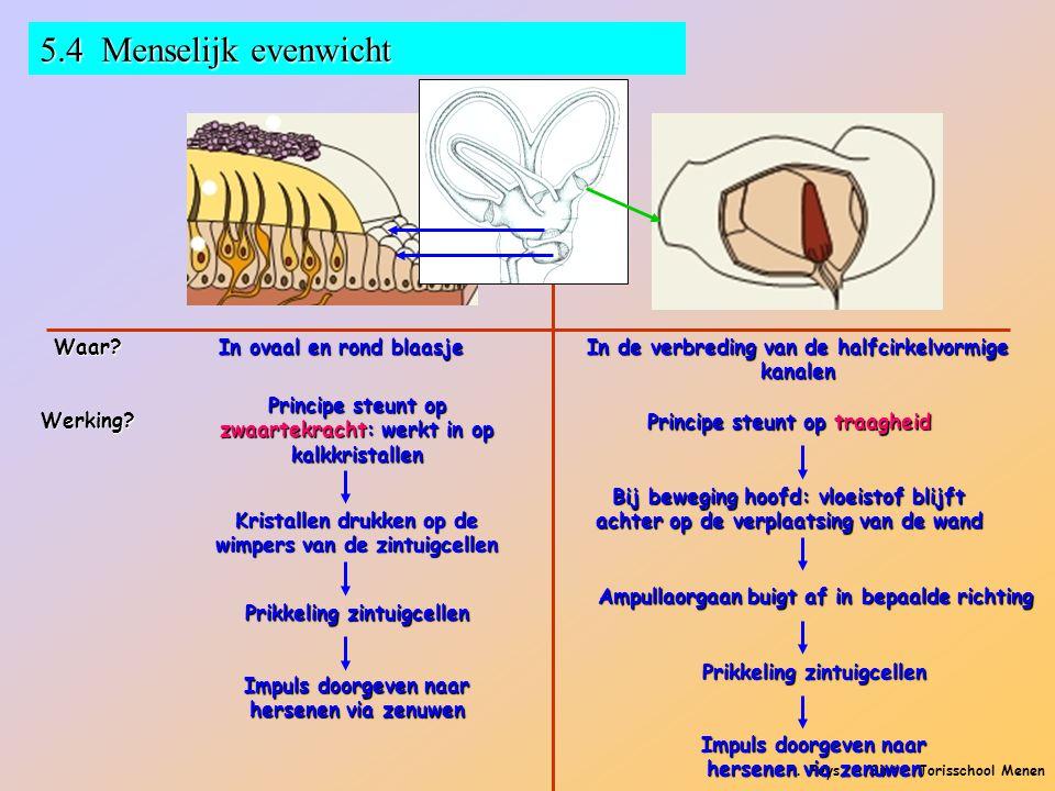 P. Feys - Sint – Jorisschool Menen 5.4 Menselijk evenwicht Waar? In ovaal en rond blaasje In de verbreding van de halfcirkelvormige kanalen Werking? P