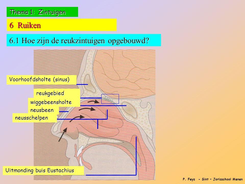 P. Feys - Sint – Jorisschool Menen Thema 1: Zintuigen 6 Ruiken 6.1 Hoe zijn de reukzintuigen opgebouwd? Voorhoofdsholte (sinus) reukgebied wiggebeensh