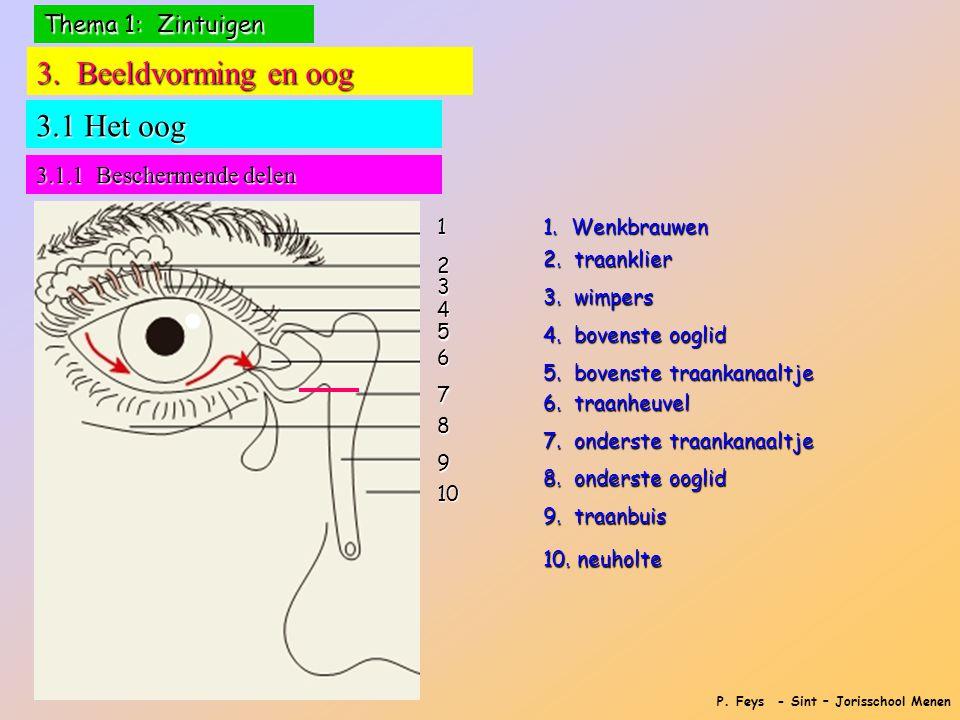 P. Feys - Sint – Jorisschool Menen 3. Beeldvorming en oog 3.1 Het oog 3.1.1 Beschermende delen 12 3 4 5 6 7 8 9 10 1. Wenkbrauwen 2. traanklier 3. wim