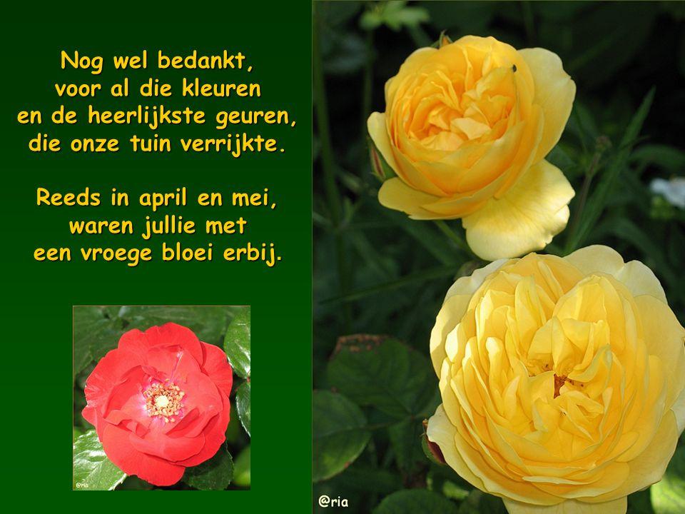 Nog wel bedankt, voor al die kleuren en de heerlijkste geuren, die onze tuin verrijkte.