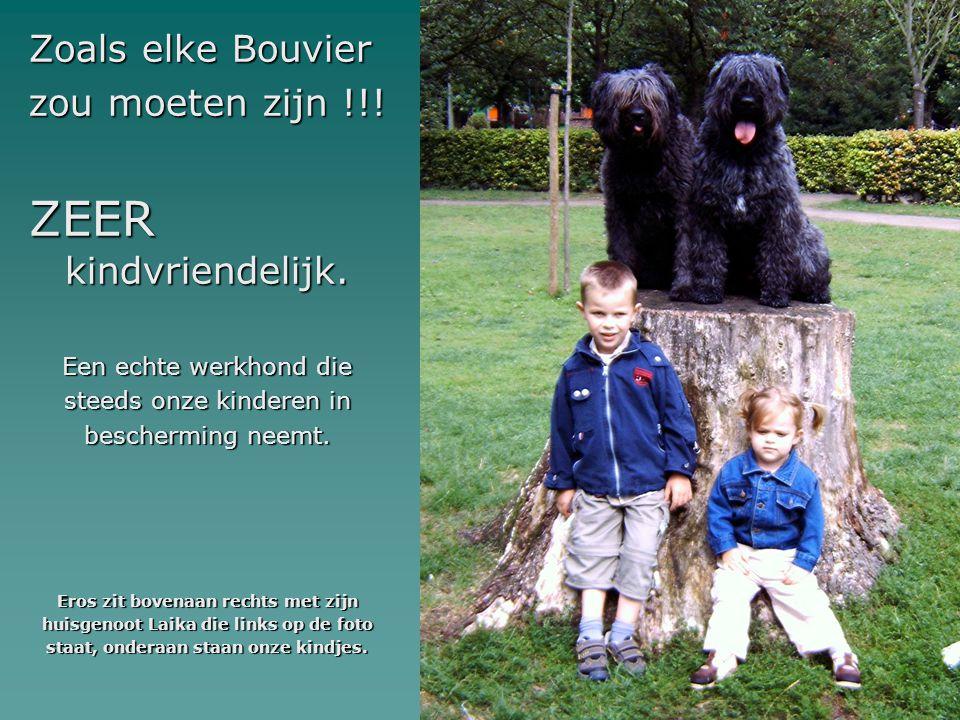 Zoals elke Bouvier zou moeten zijn !!! ZEER kindvriendelijk. Een echte werkhond die steeds onze kinderen in bescherming neemt. Eros zit bovenaan recht