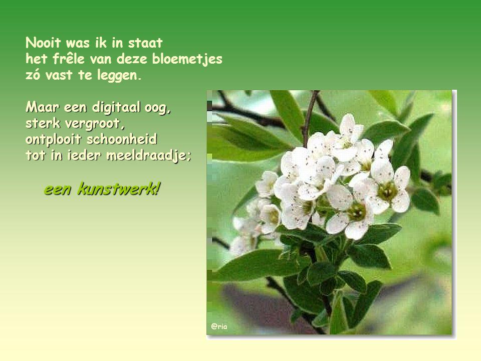 Dit zijn de simpele bloemetjes van de spirea, die vroeg in de lente bloeien.