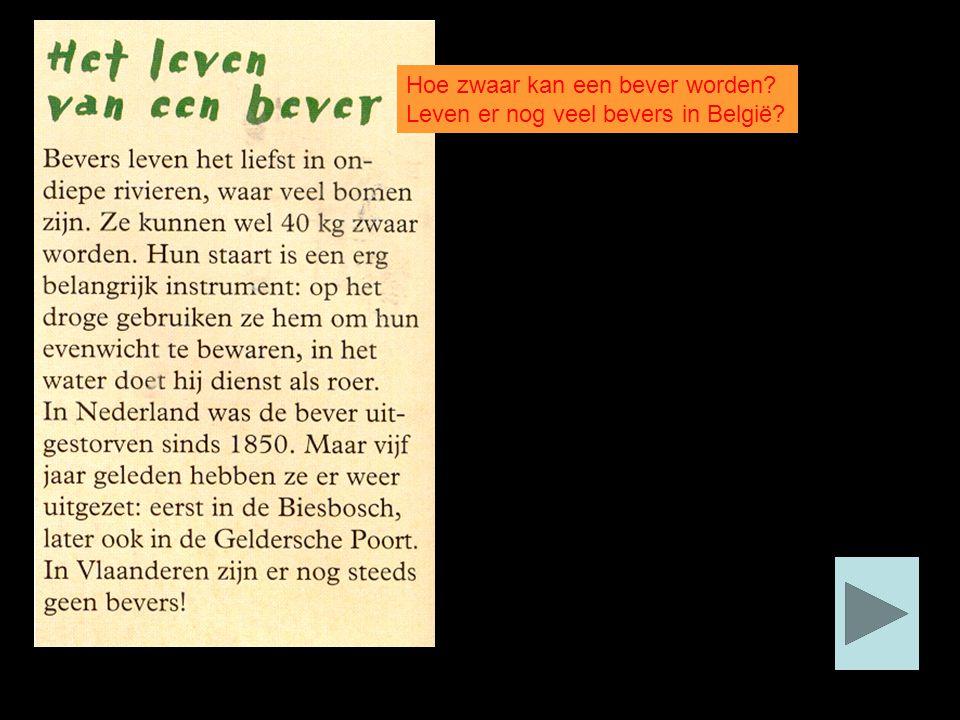 Hoe zwaar kan een bever worden? Leven er nog veel bevers in België?
