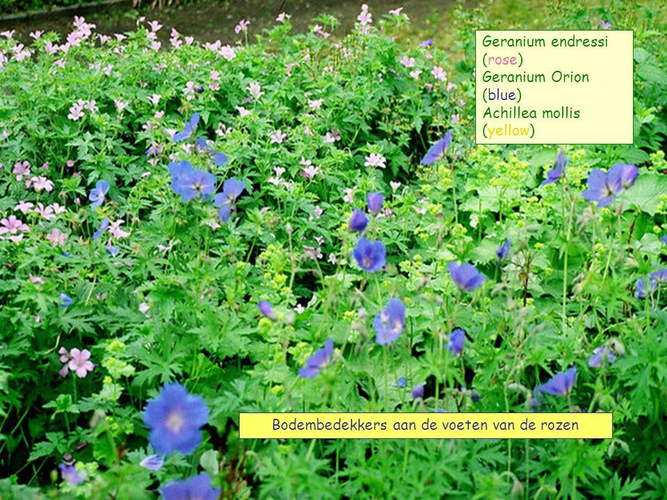 BONICA Vrouwenmantel Geranium Orion vervolg – suivant - next