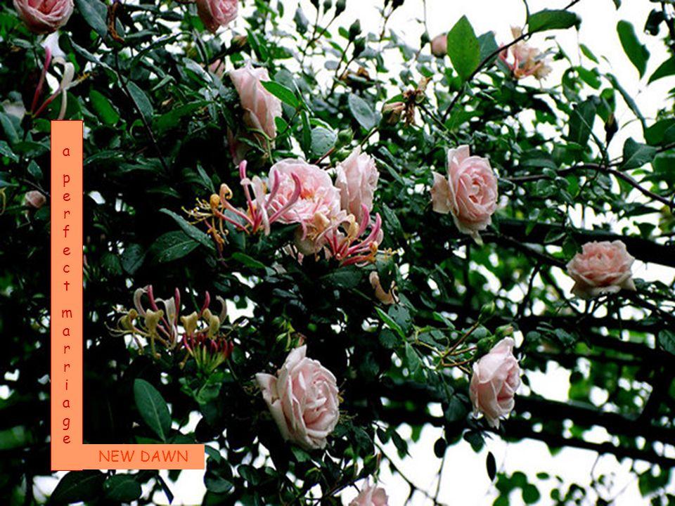 Kom naar mijn tuin waar de donkerrode rozen duistere geheimen vertellen aan de nacht; Zonnestraalkussen en zuidenwindkozen en de lange dagdroom van liefde die wacht.