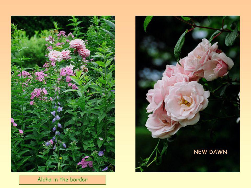 Une rose superbe EDENROOS
