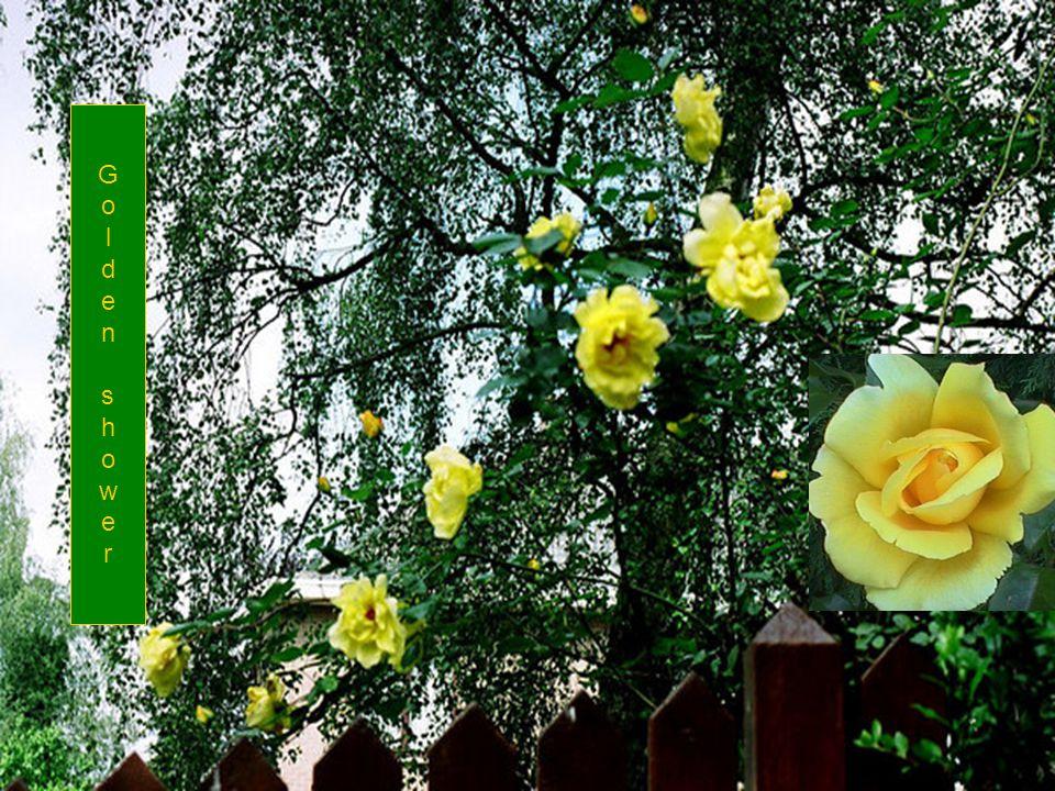 Blauw – Gele border met roos GRAHAM THOMAS