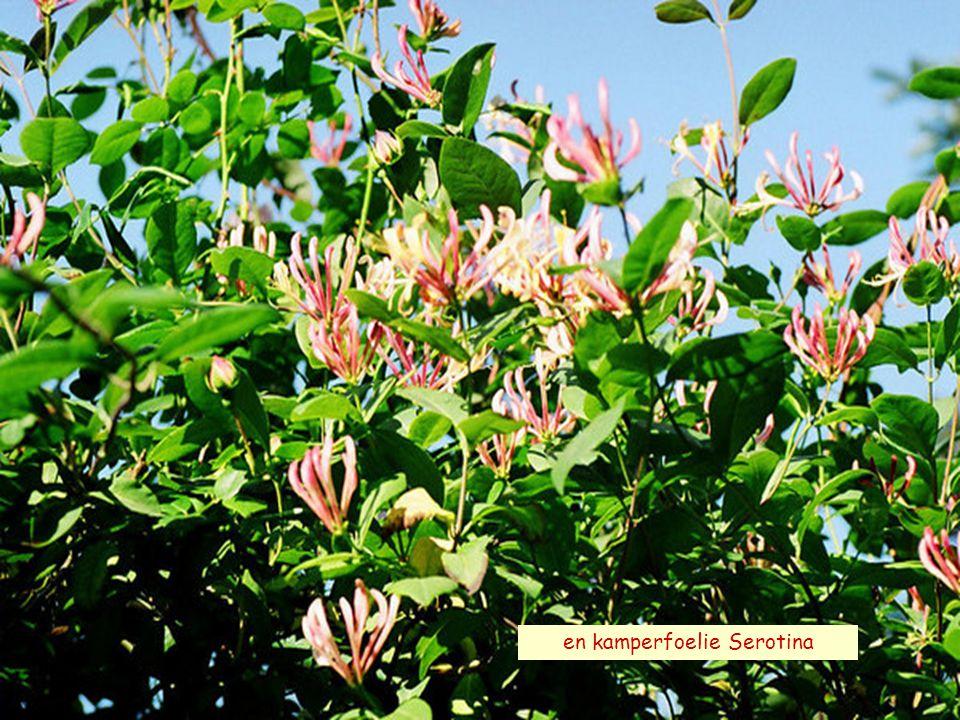 ALOHA sterk en gezond AUSTIN-rose