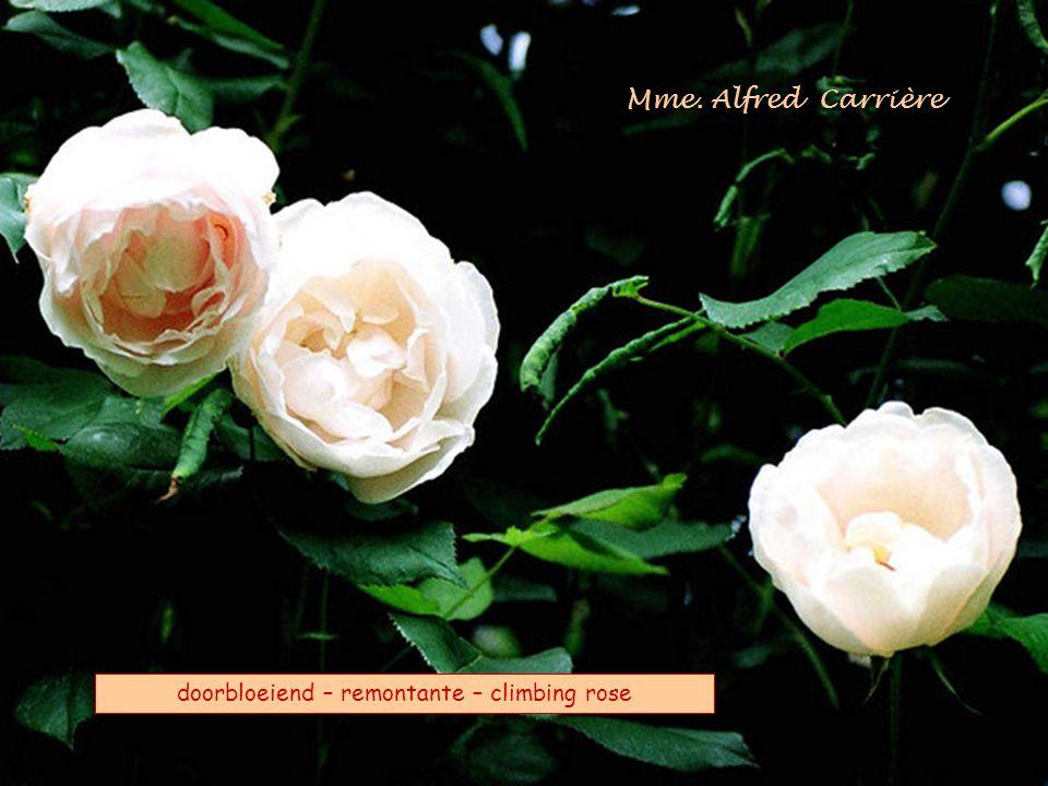 Mme. Alfred Carrière doorbloeiend – remontante – climbing rose