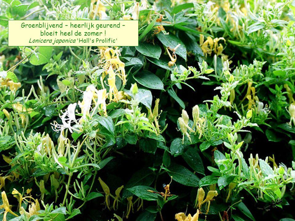 Groenblijvend – heerlijk geurend – bloeit heel de zomer ! Lonicera japonica Hall s Prolific