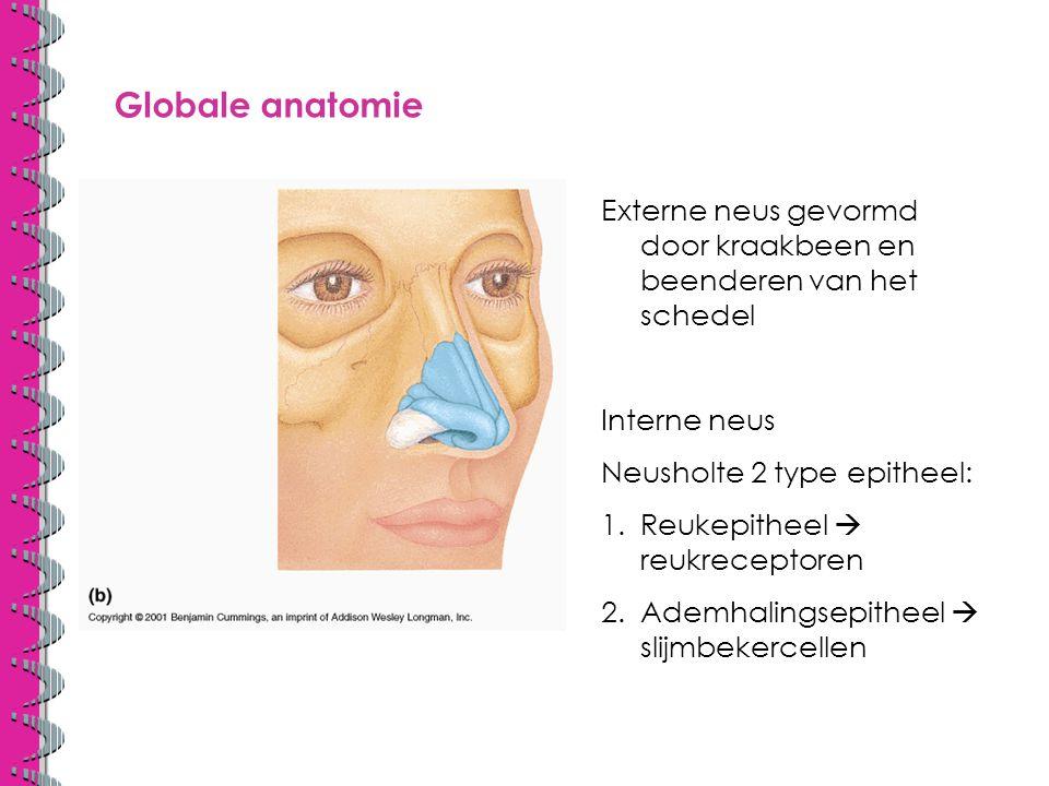 Globale anatomie Externe neus gevormd door kraakbeen en beenderen van het schedel Interne neus Neusholte 2 type epitheel: 1.Reukepitheel  reukreceptoren 2.Ademhalingsepitheel  slijmbekercellen