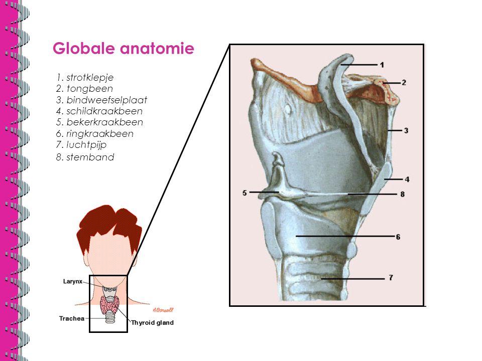 Celbiologie trachea kraakbeenringen oesophagus spierband