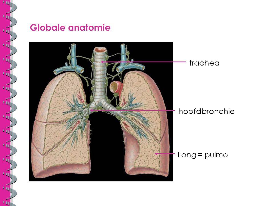 Globale anatomie hilus longkwab =lob linker long heeft 2 lobben rechter long heeft 3 lobben