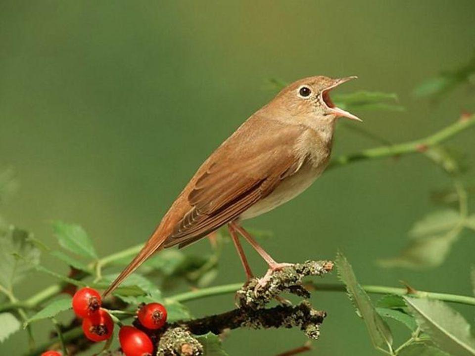 De nachtegaal is een trekvogel die in augustus/september naar zijn overwinteringgebied in het verre Afrika vertrekt....