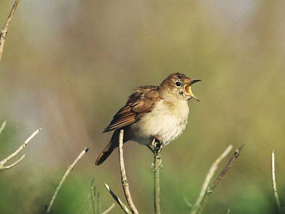 Hoewel de nachtegaal een van de beroemdste zangers onder vogels is, en hij van oudsher romantische dichters geïnspireerd heeft, Is het weinig indrukwe