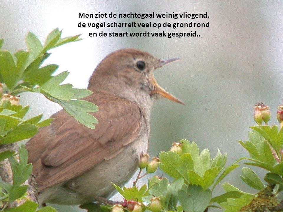 Men ziet de nachtegaal weinig vliegend, de vogel scharrelt veel op de grond rond en de staart wordt vaak gespreid..