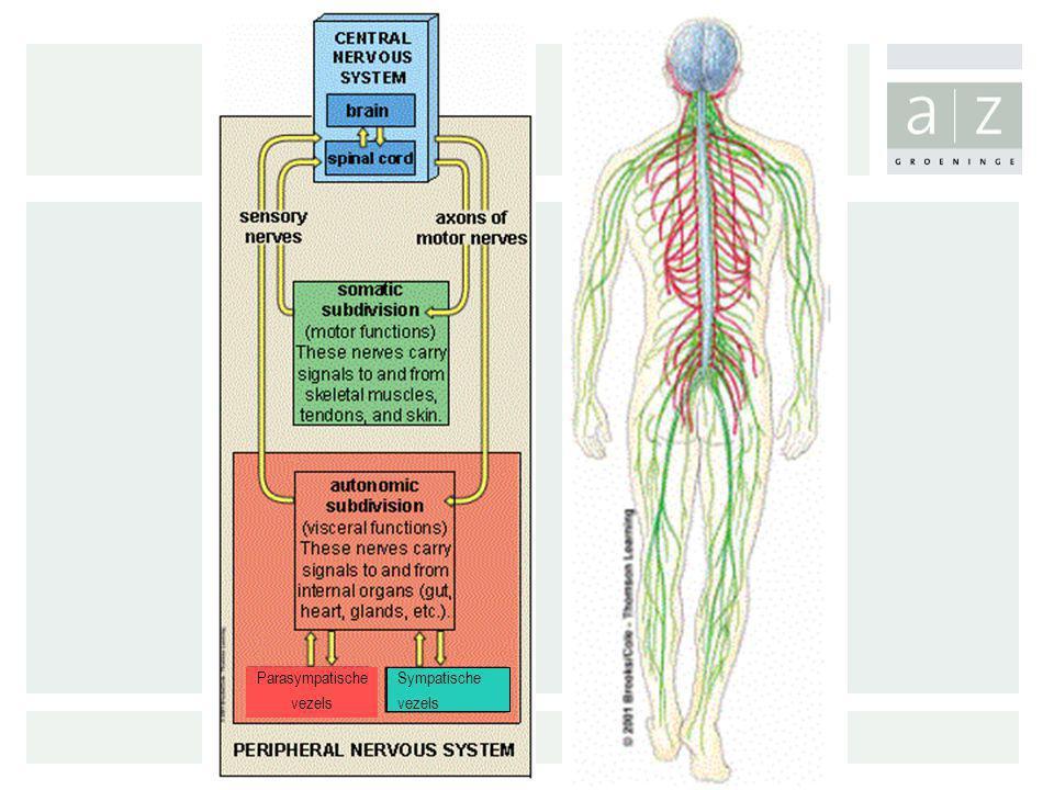 Diabetische neuropathie: Betrokkenheid van dikke en/of dunne vezels Dunne gemyeliniseerde A  vezels Ongemyeliniseerde C vezels Dikke gemyeliniseerde A  vezels Niet-pijnlijke tactiele prikkels (vibratie, zachte druk…) Pijnlijke mechanische prikkels (speldenprik) Dunne vezel neuropathieDikke vezel neuropathie Thermische prikkels INLEIDING