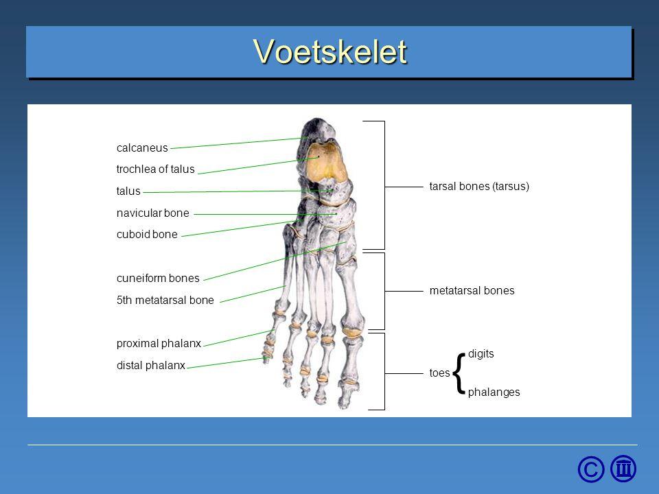 © Voetskelet tarsal bones (tarsus) { metatarsal bones toes digits phalanges calcaneus trochlea of talus talus navicular bone cuboid bone cuneiform bon