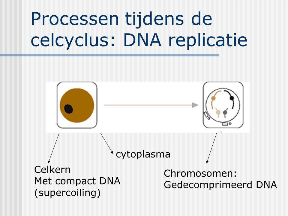 Processen tijdens de celcyclus: DNA replicatie Celkern Met compact DNA (supercoiling) cytoplasma Chromosomen: Gedecomprimeerd DNA