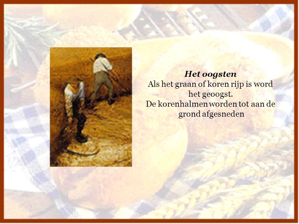 Het oogsten Als het graan of koren rijp is word het geoogst. De korenhalmen worden tot aan de grond afgesneden