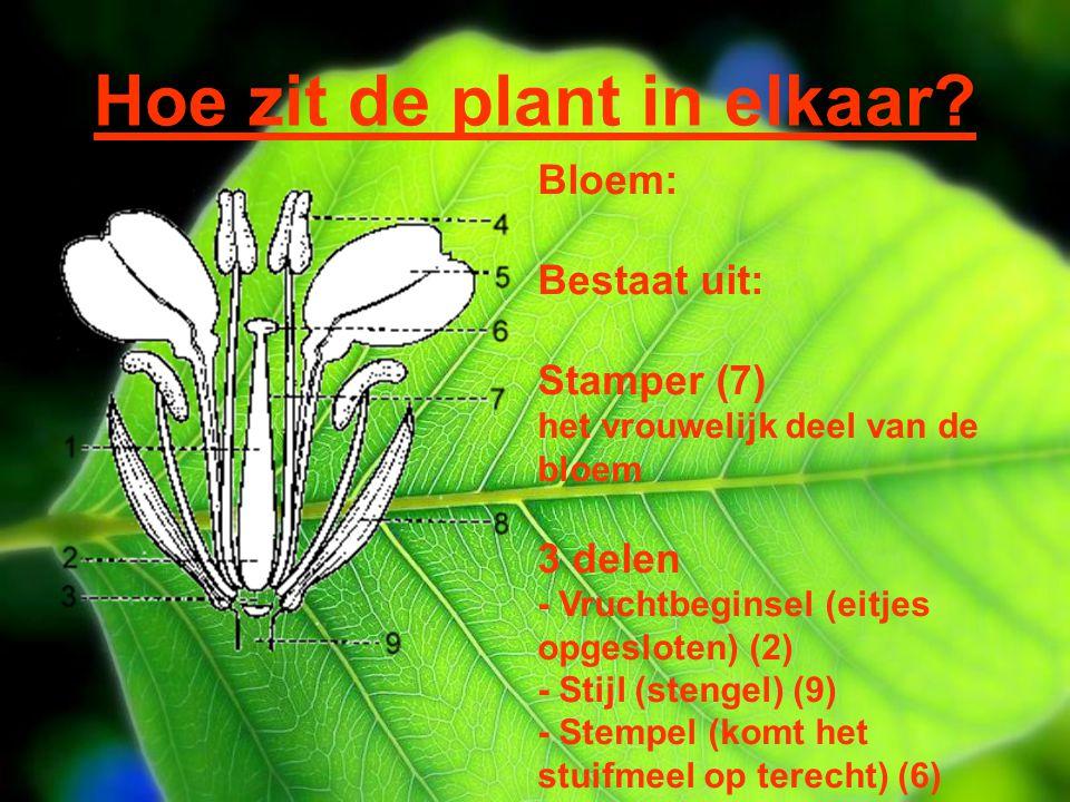 Hoe zit de plant in elkaar? Bloem: Bestaat uit: Stamper (7) het vrouwelijk deel van de bloem 3 delen - Vruchtbeginsel (eitjes opgesloten) (2) - Stijl