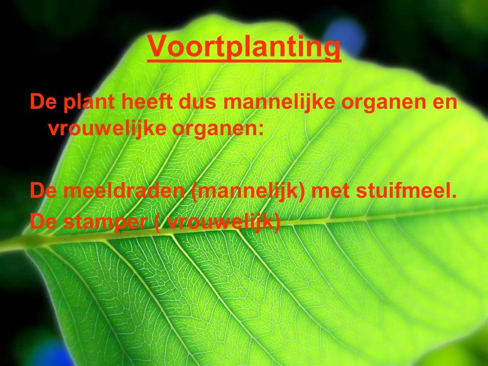 Voortplanting De plant heeft dus mannelijke organen en vrouwelijke organen: De meeldraden (mannelijk) met stuifmeel. De stamper ( vrouwelijk)
