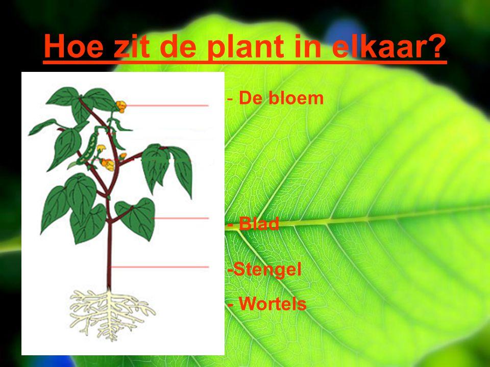 Hoe zit de plant in elkaar? - De bloem - Blad -Stengel - Wortels